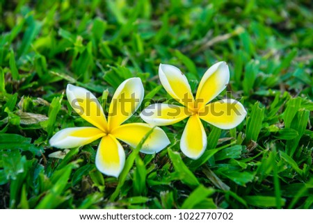 Natural white and pink frangipani or plumeria flower on tree and grass background #1022770702