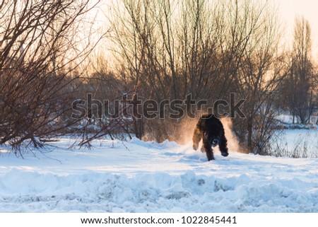 black riesenschnauzer dog on a walk on winter snowy day #1022845441