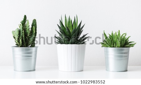 Collection of various cactus and succulent plants in different pots. Potted cactus house plants on white shelf against white wall. #1022983552