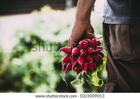 Organic vegetables. Farmers hands with freshly harvested vegetables. Horse radish #1023009013
