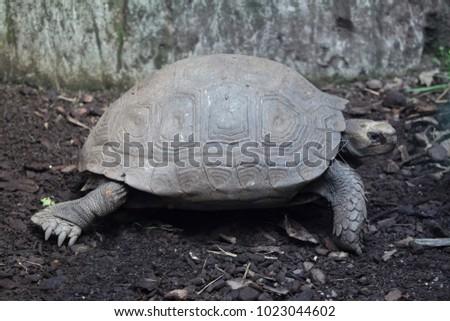 Asian giant tortoise (Manouria emys emys), also known as the Southern brown tortoise.  #1023044602