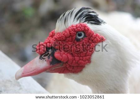 Cairina moschata duck #1023052861