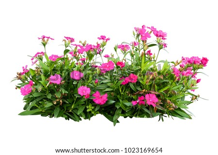 pink flower  bush tree isolated tropical plant  with clipping paths #1023169654