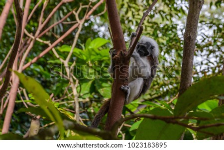 A cotton-top Tamarin Monkey (Saguinus oedipus) on the branch in natural wood and forest background #1023183895