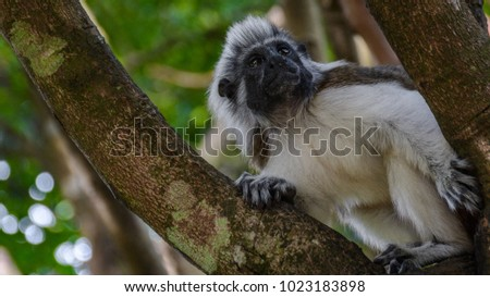 Close up of a cotton-top Tamarin Monkey (Saguinus oedipus) on the branch in natural wood and forest background #1023183898