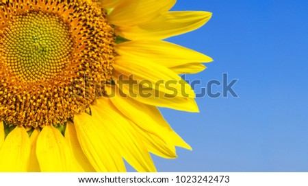 Close-up of Beautiful sunflower blossom on blue sky #1023242473