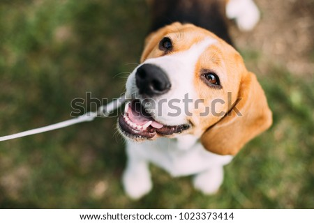 Beautiful Tricolor Puppy Of English Beagle Sitting On Green Grass. Beagle Is A Breed Of Small Hound, Similar In Appearance To The Much Larger Foxhound. Smiling Dog #1023373414