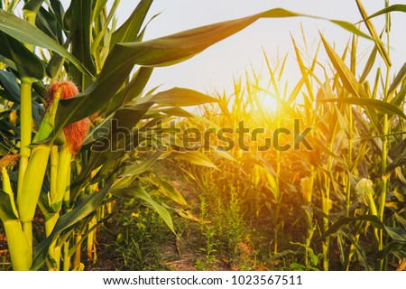 close up Corn field in the countryside, The larvae are not harvested, Many  yong maize grown for harvest to sell to food factory. #1023567511
