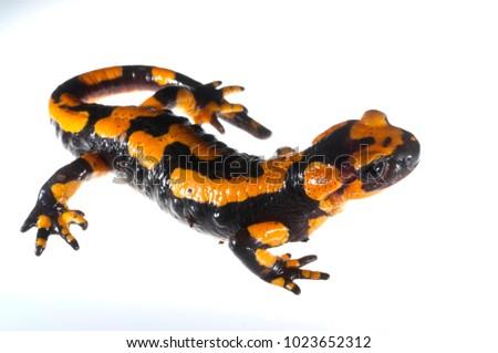 Salamandra salamandra (fire salamander)