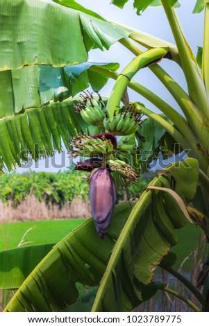 banana flower with green young banana fruit on tree #1023789775