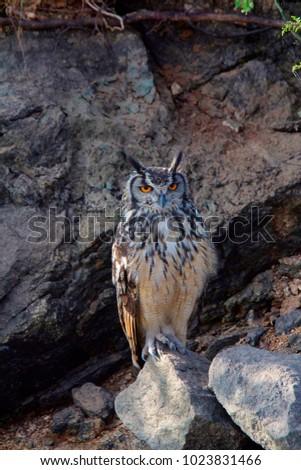 Indian Eagle Owl, Bubo bengalensis, Hampi, Karnataka