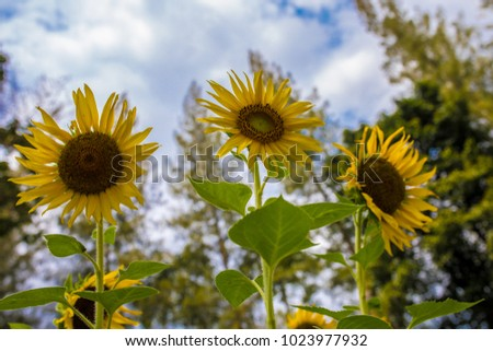 Three Sunflowers growing in the park with cloudy and big green trees #1023977932