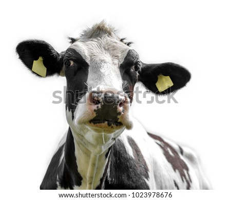 cow on white background #1023978676