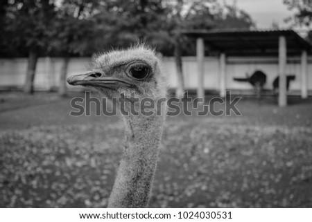 ostrich in captivity #1024030531
