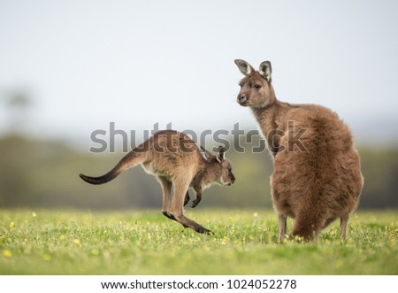 A joey western grey kangaroo returning to its mother. Macropus fuliginosus, subspecies Kangaroo Island kangaroo.