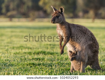 A western grey kangaroo with joey looking out of the pouch, Macropus fuliginosus, subspecies Kangaroo Island kangaroo.