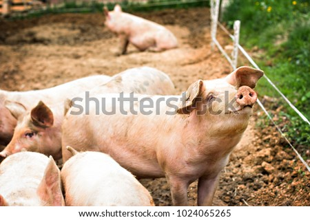 Pigs on the farm. Happy pigs on pig farm with girl. piglets #1024065265