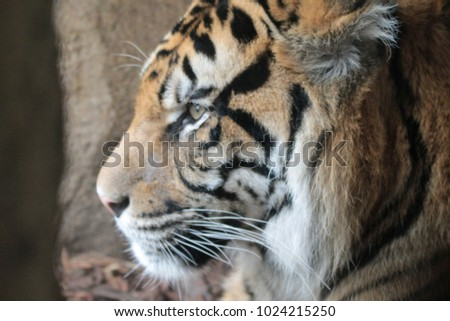 Tiger in Zoo #1024215250