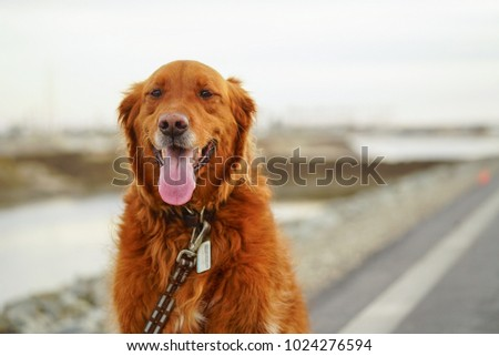 Woogie, the happiest Golden Retriever ever! #1024276594