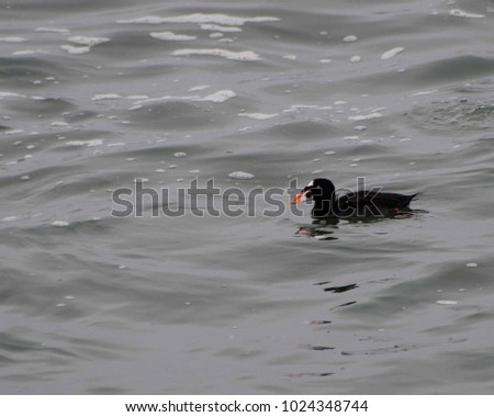 A Scoter rides the waves in the Pacific Ocean at North Jetty in Ocean Shores, WA, USA. #1024348744