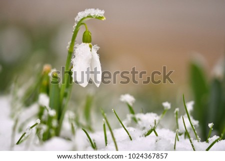 Snowdrops spring flowers. Beautifully blooming in the grass at sunset. Delicate Snowdrop flower is one of the spring symbols. (Amaryllidaceae - Galanthus nivalis) #1024367857