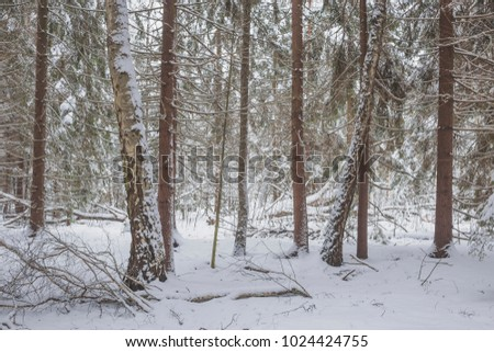 Winter in an old fir forest. Nature in the vicinity of Pruzhany, Brest region, Belarus. #1024424755
