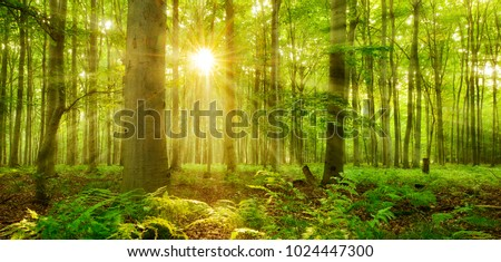 Sunbeams Shining through Natural Forest of Beech Trees, Ferns covering the Ground #1024447300
