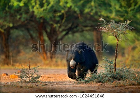 Sloth bear, Melursus ursinus, Ranthambore National Park, India. Wild Sloth bear in nature habitat, wildlife photo. Dangerous black animal in India. Cute Animal on the road in the forest.