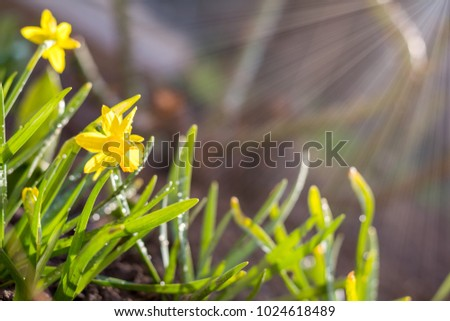 Yellow blooming daffodil. Sunny day. It rains in sunny day. Low angle. Sunshine. Sunrise. Shallow depth of field. Copy space. #1024618489