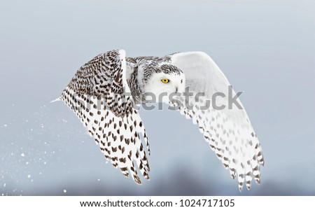 Snowy owl (Bubo scandiacus) lifts off and flies low hunting over a snow covered field in Ottawa, Canada Royalty-Free Stock Photo #1024717105