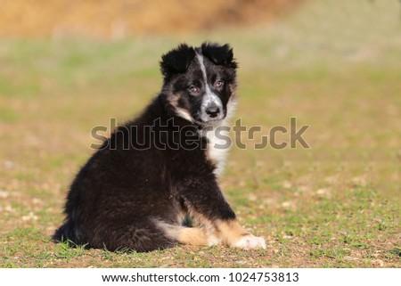 puppy border collie #1024753813