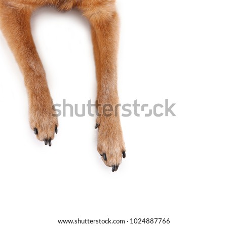overhead view of chihuahua mix legs and paws studio shot isolated on a white background  Royalty-Free Stock Photo #1024887766