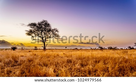 Sunrise over the savanna and grass fields in central Kruger National Park in South Africa Royalty-Free Stock Photo #1024979566