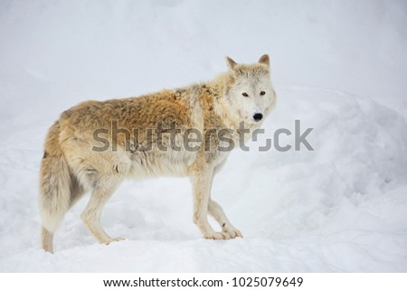 The tundra wolf. The tundra wolf area occupies the tundra and forest tundra zone of the European part and Siberia up to the Arctic coast.