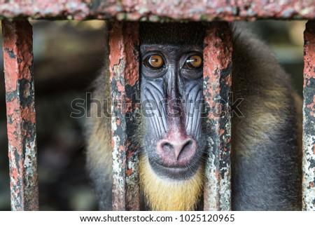 Sad mandril in the zoo #1025120965