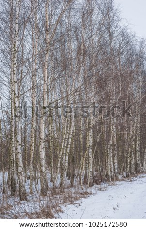 Winter landscape with a birch grove. Nature in the vicinity of Pruzhany, Brest region, Belarus. #1025172580