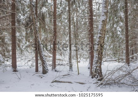 Winter in an old fir forest. Nature in the vicinity of Pruzhany, Brest region, Belarus. #1025175595