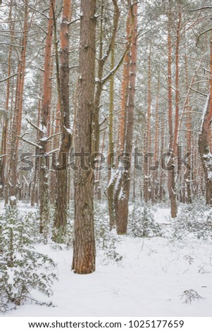 Winter in the Pine Forest. Nature in the vicinity of Pruzhany, Brest region, Belarus. #1025177659