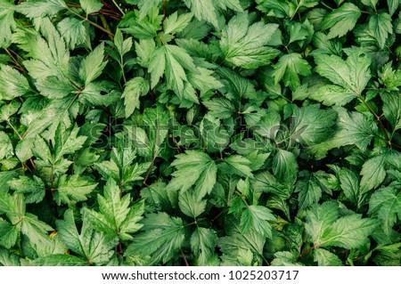 Beautiful green leaves texture of Mugwort plant or Artemisia vulgare, fresh variegated leaves #1025203717