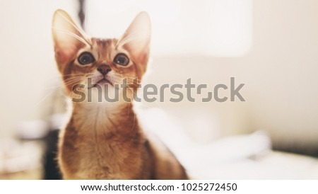 abyssinian kitten wild color indoor portrait Royalty-Free Stock Photo #1025272450