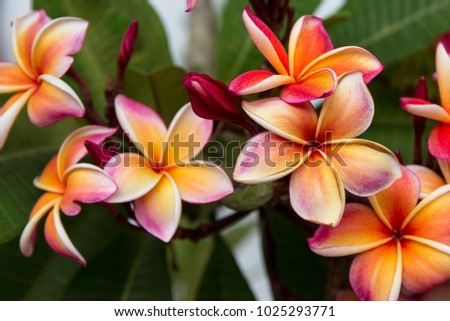Colorful Frangipani Flower. Exotic yellow, white and pink flowers Plumeria close-up. Spa flower #1025293771
