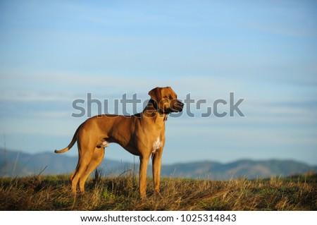 Rhodesian Ridgeback dog outdoor portrait standing in field overlooking mountains