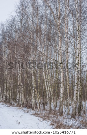 Winter landscape with a birch grove. Nature in the vicinity of Pruzhany, Brest region, Belarus. #1025416771