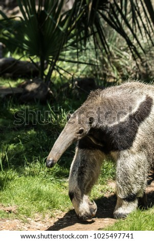 South American Giant Anteater #1025497741
