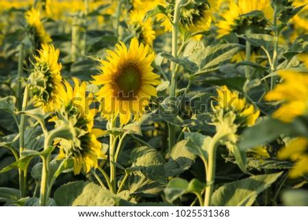 Sunflower field in sunny summer day #1025531368