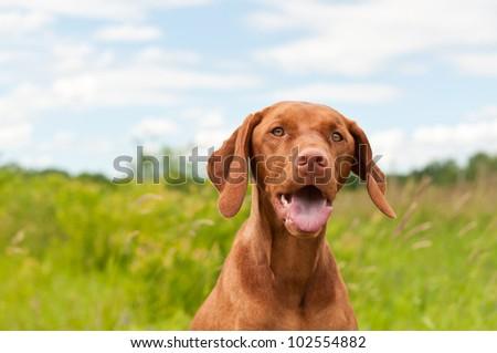A closeup shot of a Vizsla dog (Hungarian Pointer) in a field. #102554882