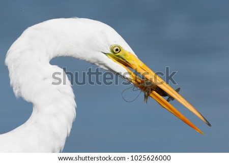 Great Egret (Ardea alba) with a crawfish in its beak- Pinellas County, Florida #1025626000