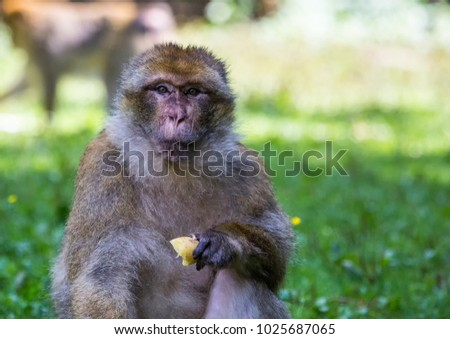 Picture of playing and eating barbary macaques on a meadow during summertime #1025687065
