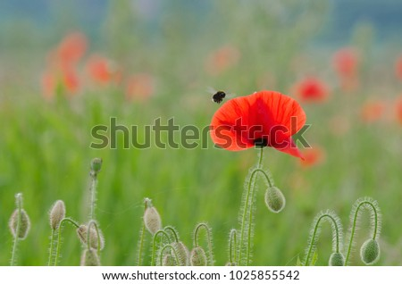 POPPY AND BUMBLEBEE - Wild life on a colorful meadow #1025855542