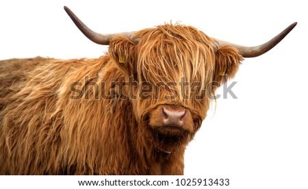 Scottish cow on white background #1025913433
